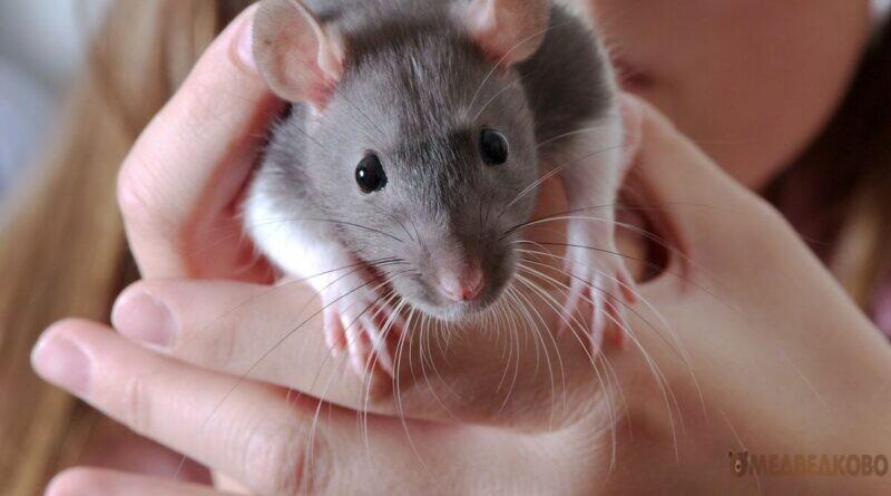 Возле Яузы заводчик выбросил домашних крыс